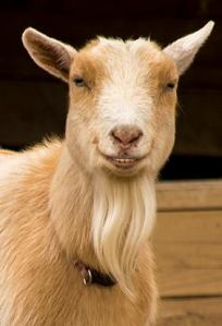 Who wouldn't want to pet this cheeky goat? Oh that would be me, big chicken pants.